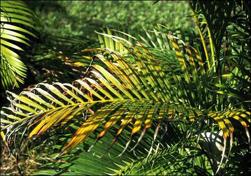 Deficiency Of Potassium Plant Nutrient Deficiency