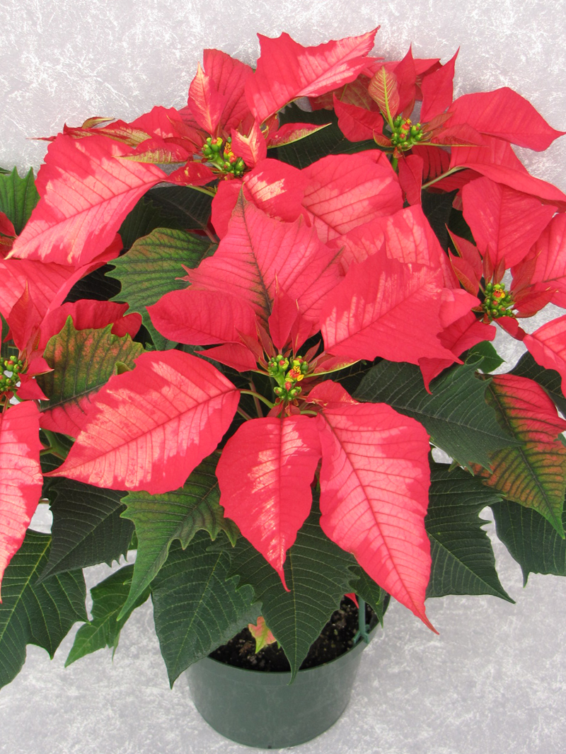 Ice Punch 2009 Height Control Poinsettia Cultivation