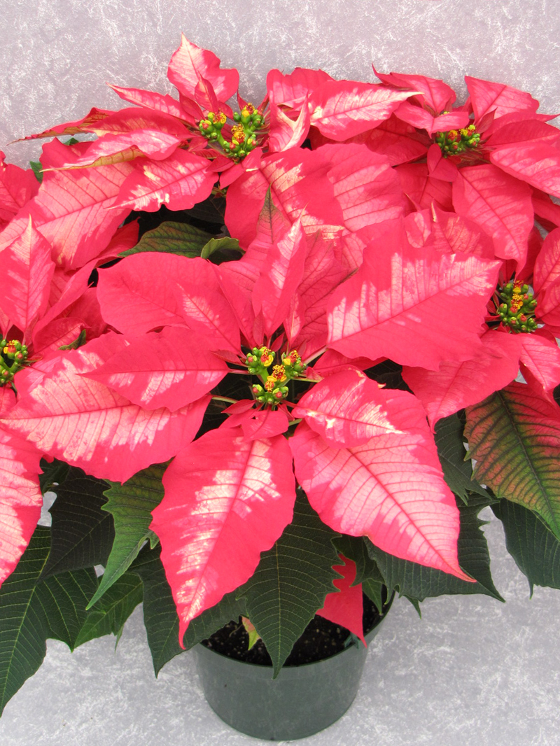 Image Gallery ice punch poinsettia
