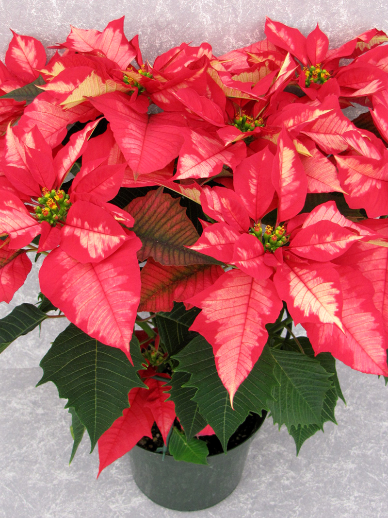 Ice Punch 2010 Height Control Poinsettia Cultivation