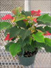 Ice Punch poinsettia 10-25
