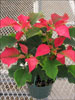 Ice Punch poinsettia 11-1
