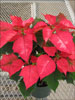 Ice Punch poinsettia 11-8