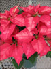 Ice Punch poinsettia 11-15