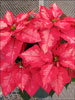 Ice Punch poinsettia 11-22