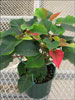 Orion Red poinsettia 10-18