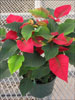 Orion Red poinsettia 10-25