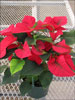 Orion Red poinsettia 11-1