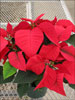 Orion Red poinsettia 11-8