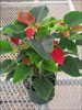 Prestige Early Red poinsettia 10-25