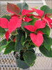 Prestige Early Red poinsettia 11-1