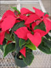 Prestige Early Red poinsettia 11-8