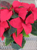 Prestige Early Red poinsettia 11-15