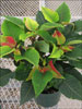 Soltic Red poinsettia 11-8