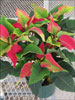 Soltic Red poinsettia 11-15