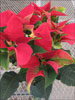Soltic Red poinsettia 11-22