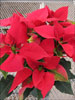 Soltic Red poinsettia 11-29