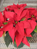 Soltic Red poinsettia 12-6