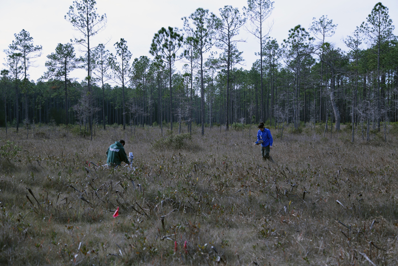 Our study sites in a bog within the Apalachicola National Forest.