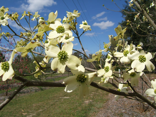 Cornus florida weavers white pictures trees and power lines flowering dogwood flowers mightylinksfo