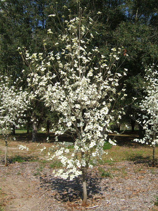 Cornus florida weavers white pictures trees and power lines flowering dogwood in flower mightylinksfo