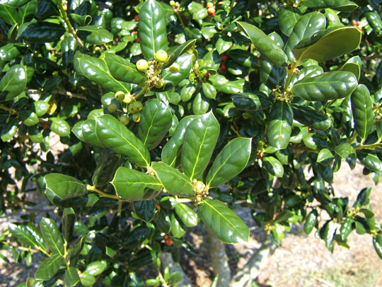 Burford Holly Foliage