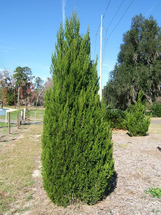 spartan juniper tree