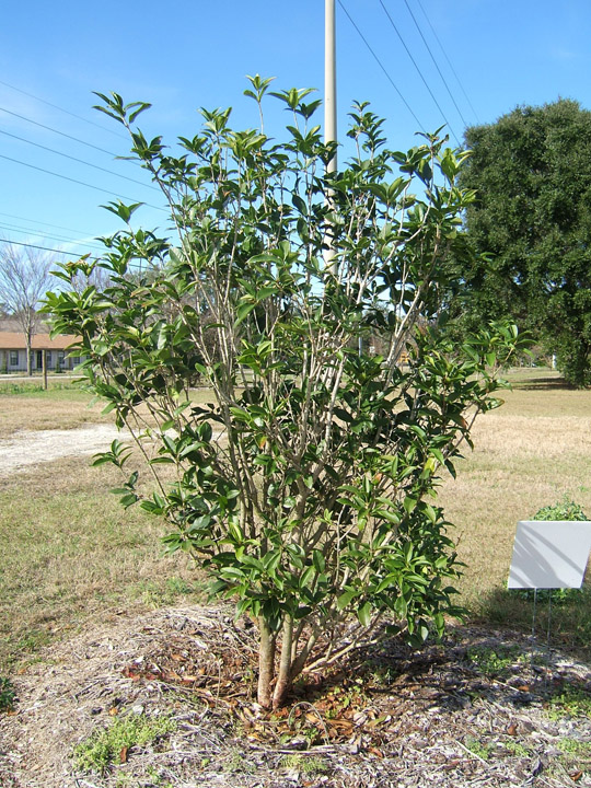 osmanthus fragrans pictures trees  power lines 540 x 720 · jpeg