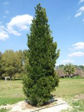 Podocarpus Macrophyllus Trees And Power Lines Edward F