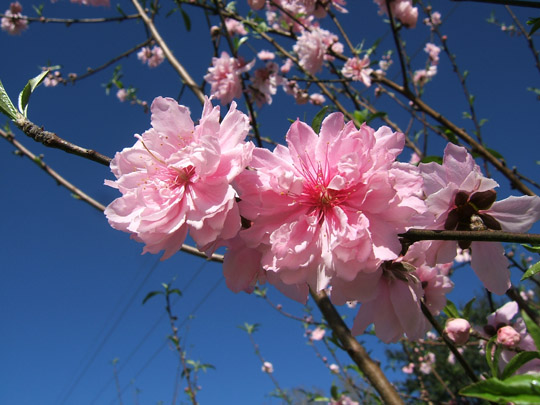 Flowering Peach Flowers