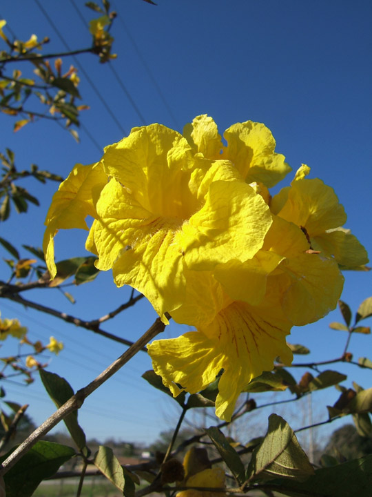 Tabebuia chrysotricha pictures trees and power lines edward f golden trumpet tree flowers mightylinksfo