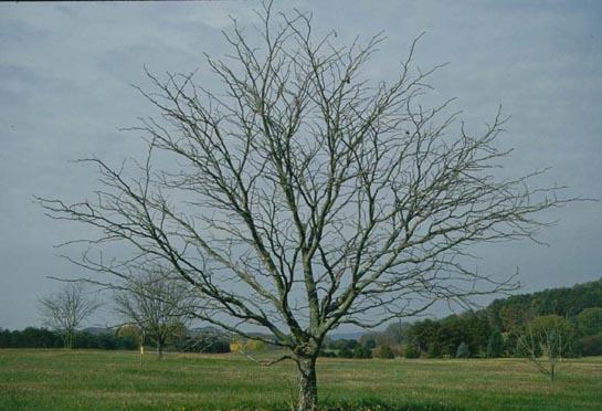 Red Buckeye Tree Selection Landscape Plants Edward F
