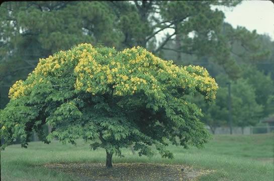 Bulnesia Tree Selection Landscape Plants Edward F