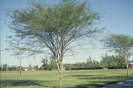 Bridalveil Tree Tree Selection Landscape Plants