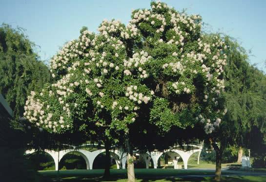 Cape Chestnut Tree Selection Landscape Plants Edward