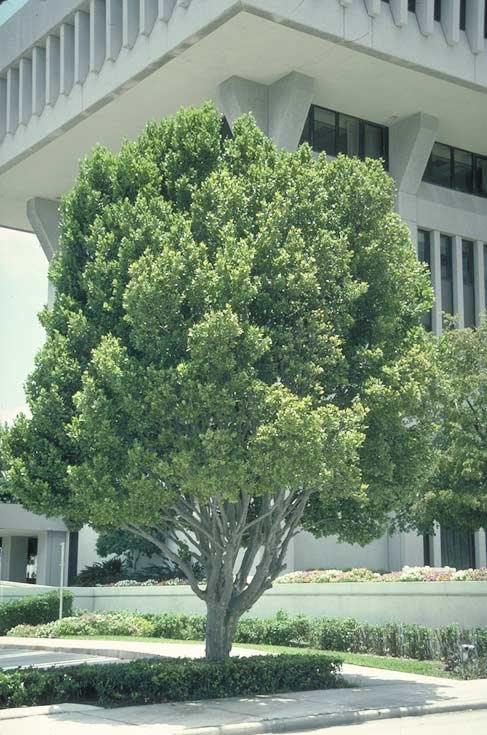 Pigeon Plum Tree Selection Landscape Plants Edward F