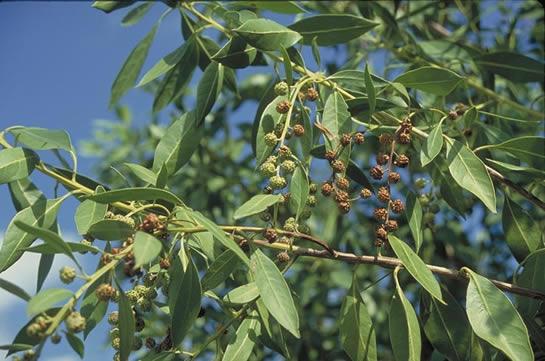 Buttonwood Tree Selection Landscape Plants Edward F