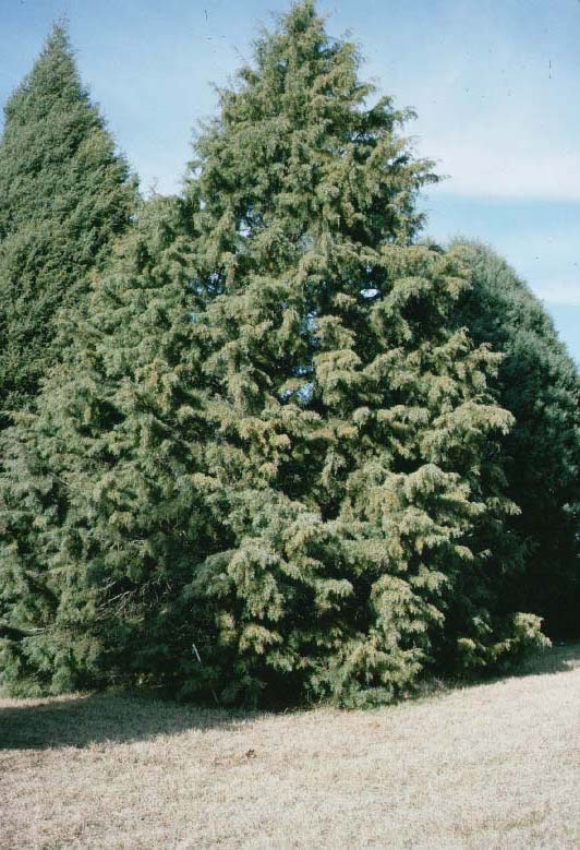 Arizona Cypress Tree Selection Landscape Plants