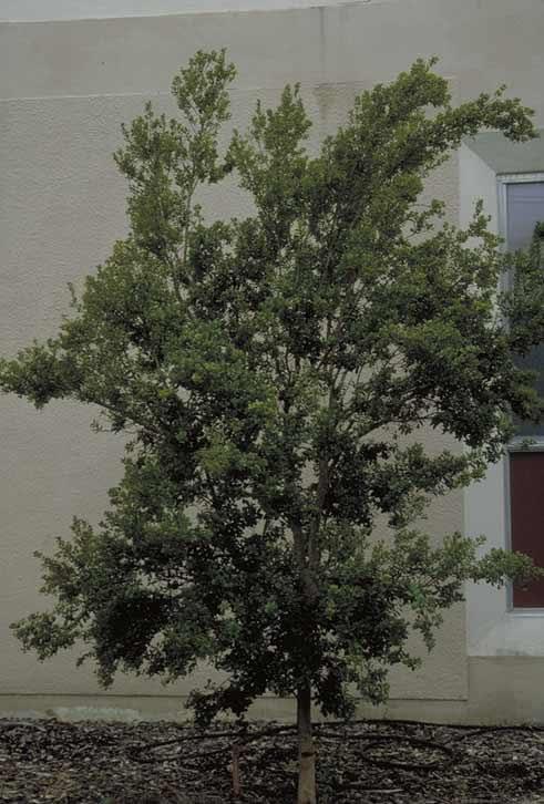 Boxleaf Or Spanish Stopper Tree Selection Landscape