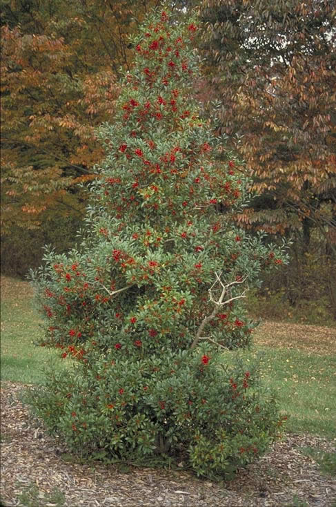 Foster S Holly Tree Selection Landscape Plants