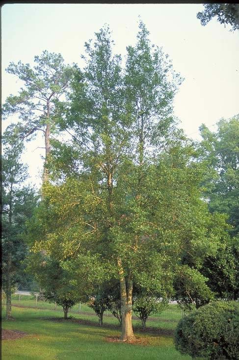 savannah holly - tree selection