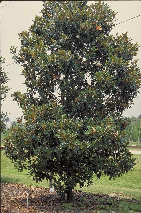 Little Gem Magnolia Tree Selection Landscape Plants Edward F