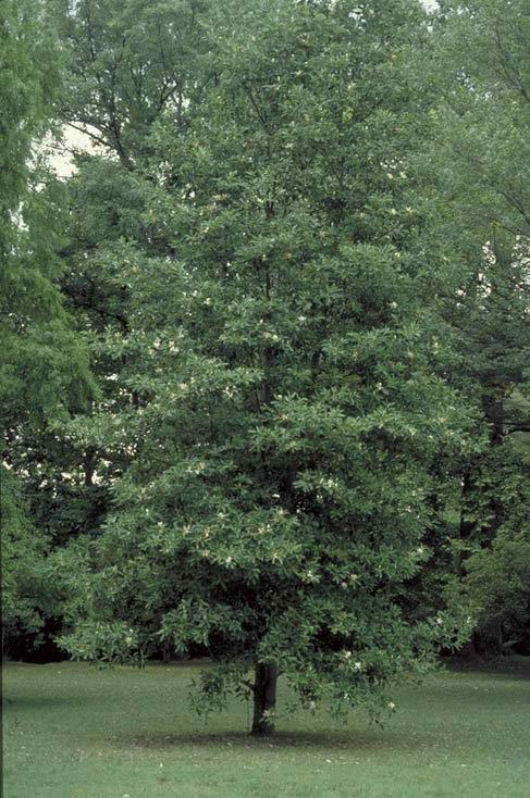 Sweetbay Magnolia - Tr...