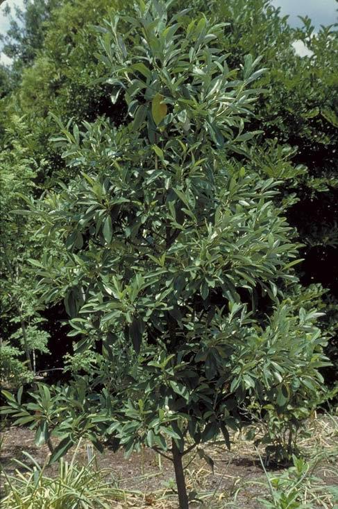 sweetbay magnolia - tree selection