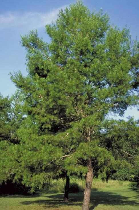 Spruce Pine Tree Selection Landscape Plants Edward F