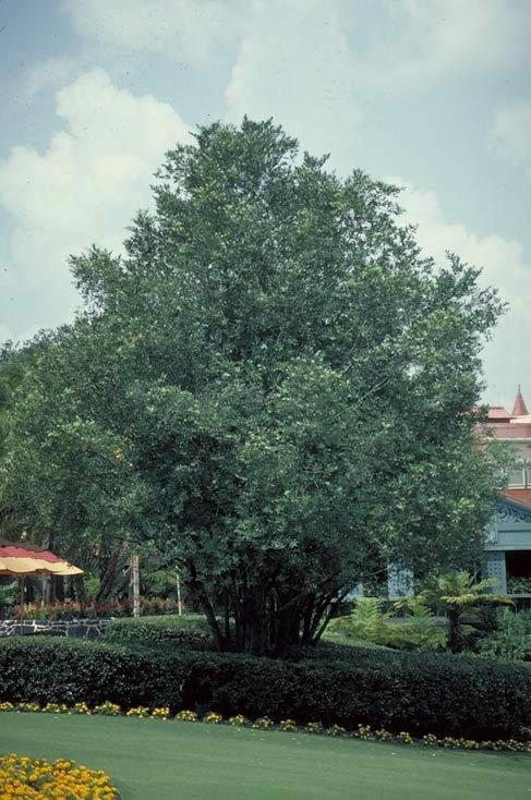 nagi podocarpus - tree selection
