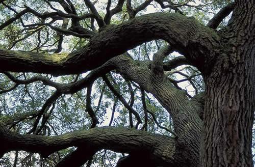 Sand Live Oak Tree Selection Landscape Plants Edward