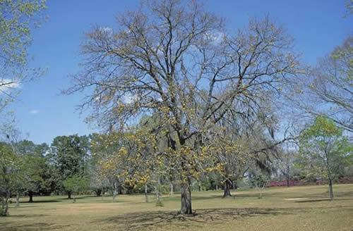 blackjack oak - tree selection - landscape plants
