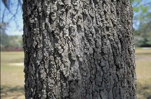 Blackjack Oak Tree Selection Landscape Plants Edward