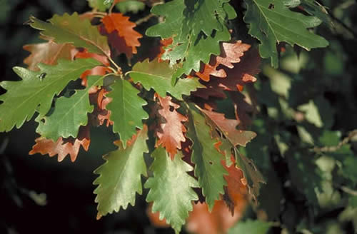 Swamp Chestnut Oak Tree Selection Landscape Plants
